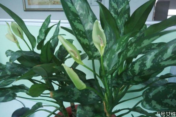 黑美人是一种什么植物呢 黑美人的种植有什么注意的呢