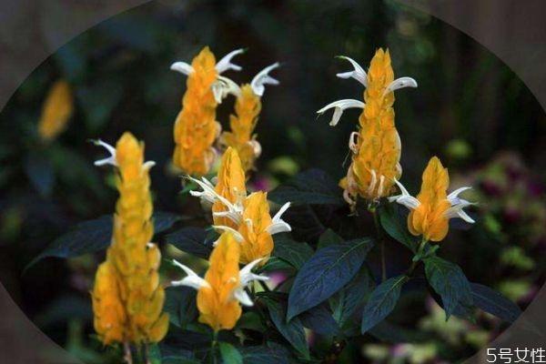 金苞花有毒吗图片