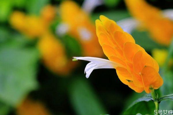 金苞花能在卧室养殖吗图片