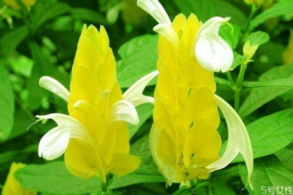 金苞花寓意图片