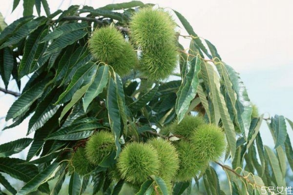 栗子树生长环境是怎么样呢 栗子树种植应该注意什么呢