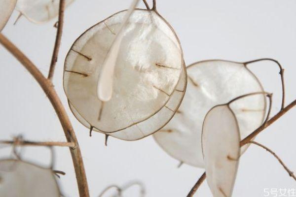 什么是银扇草呢 银扇草有什么作用呢