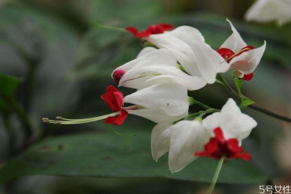 龙吐珠的花语是什么呢 龙吐珠的种植需要注意什么呢