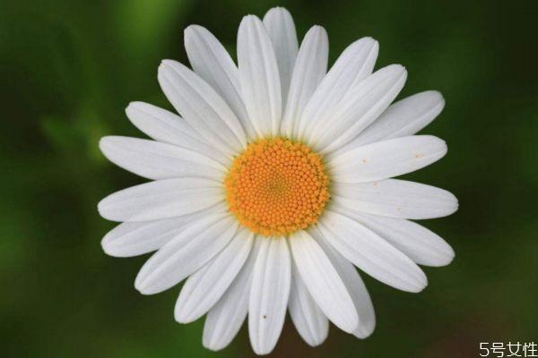 什么是白晶菊呢 白晶菊有什么作用呢