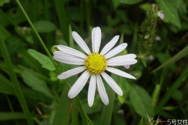 白晶菊的花语是什么呢 白晶菊花期是什么时候呢