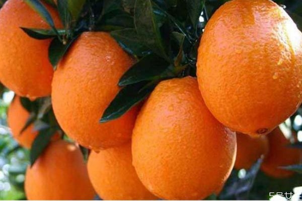 苦橙可以吃吗 苦橙子吃了有什么作用
