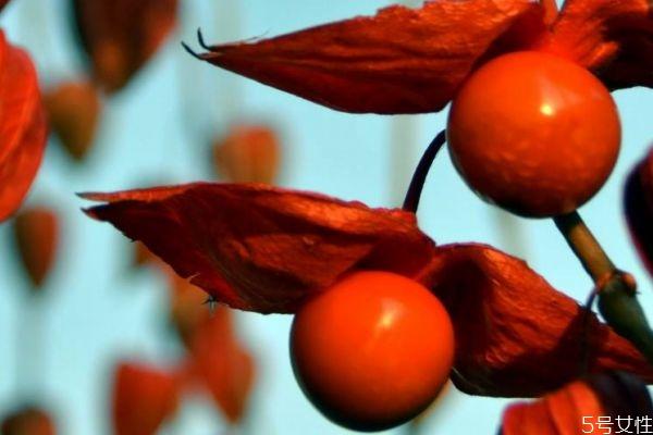 假酸浆是一种什么植物呢 假酸浆的主要有什么呢