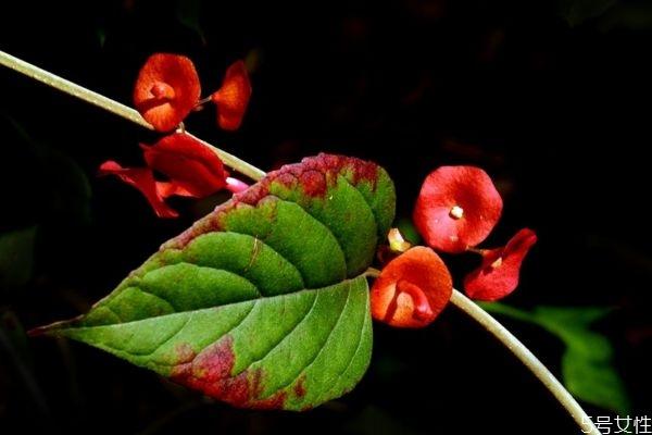 冬红是一种什么植物呢 冬红有什么作用呢