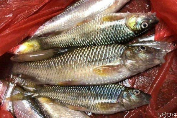 什么是麦穗鱼呢 麦穗鱼有什么营养价值呢