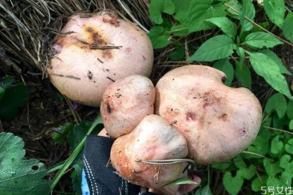 吃松蘑有什么好处呢 松蘑怎么做好吃呢