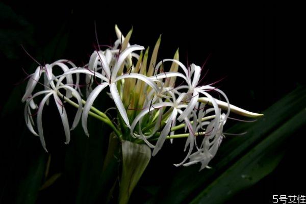 文殊兰是一种什么植物呢 文殊兰有什么作用呢