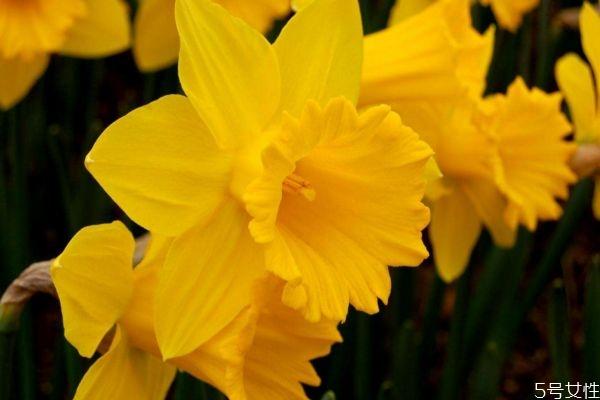 黄水仙是一种怎么植物呢 黄水仙的作用有什么呢