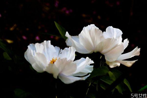 凤丹是一种什么植物呢 凤丹有什么作用呢