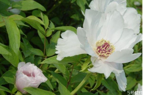 凤丹的花语是什么呢 凤丹的种植有什么注意的呢