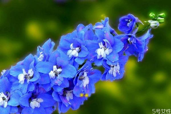 翠雀花是什么植物呢 翠雀花有什么作用呢