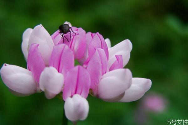 小冠花的花语是什么呢 小冠花的种植有什么注意的呢