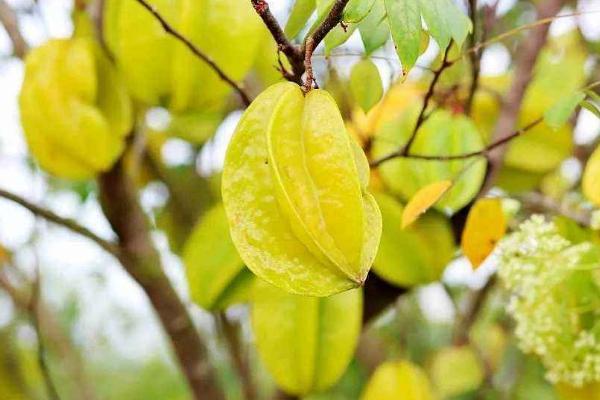 杨桃糖粉高吗 糖尿病人能吃杨桃吗