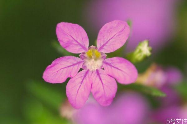 什么是萼距花呢 萼距花有什么作用呢