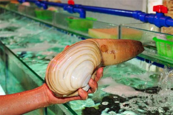 象拔蚌不能和什么一起吃 象拔蚌适合什么人吃