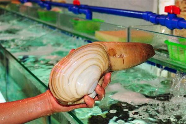 象拔蚌的内脏可以吃吗 象拔蚌的内脏怎么处理