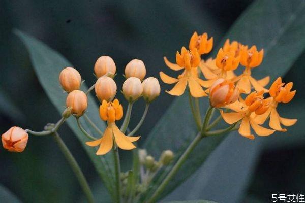 马利筋的花语是什么呢 马利筋的种植有什么注意的呢