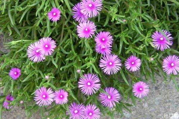 什么是松叶菊呢 松叶菊有什么作用呢