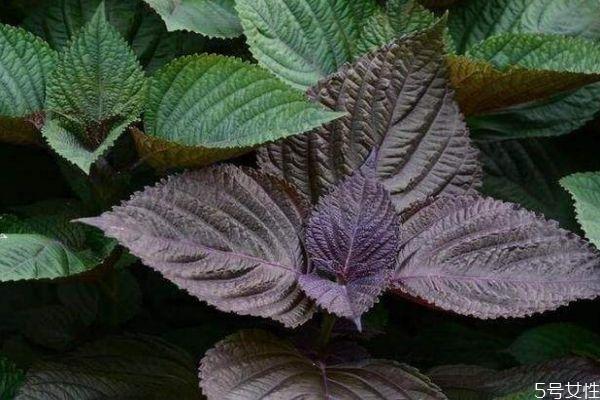 什么是紫苏叶呢 紫苏叶有什么营养价值呢