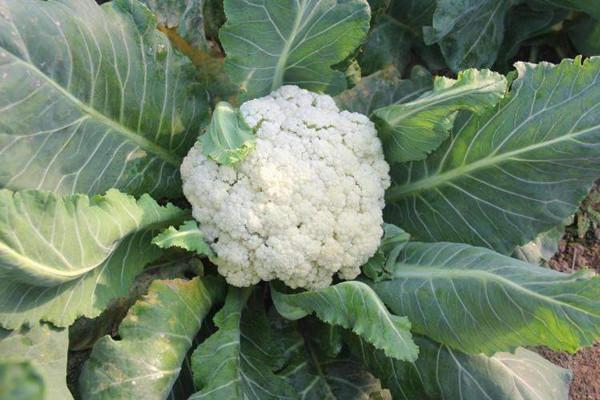 花菜怎么保存时间长 焯熟的花菜怎么保存