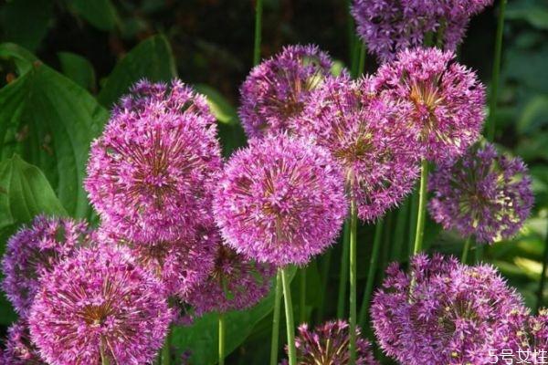 大花葱是一种什么植物呢 大花葱有什么作用呢