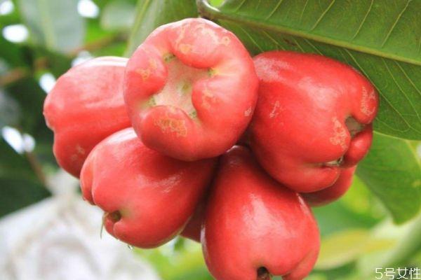 什么是洋蒲桃呢 洋蒲桃可以吃吗