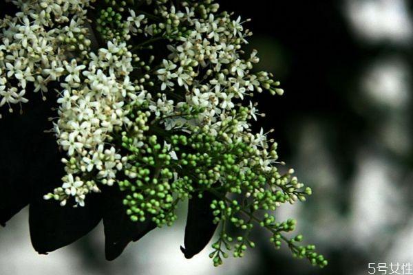 山指甲的花语是什么呢 山指甲的种植有什么注意的呢