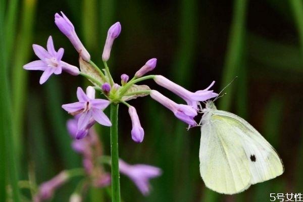 什么是紫娇花呢 紫娇花种植有什么注意的呢