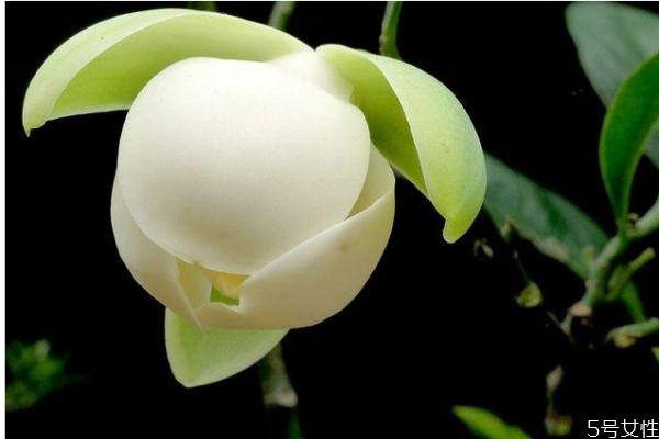什么是夜合花呢 夜合花有什么作用呢