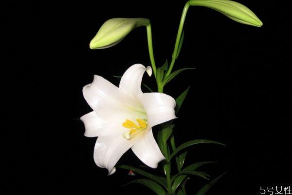 夜合花的花语是什么呢 夜合花的种植有什么注意的呢