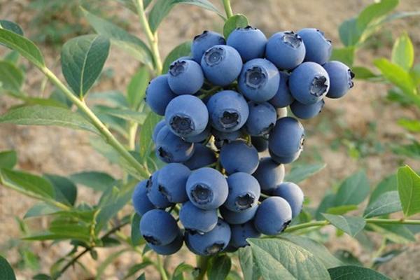 怎么判断蓝莓是否新鲜 野生蓝莓和蓝莓的区别
