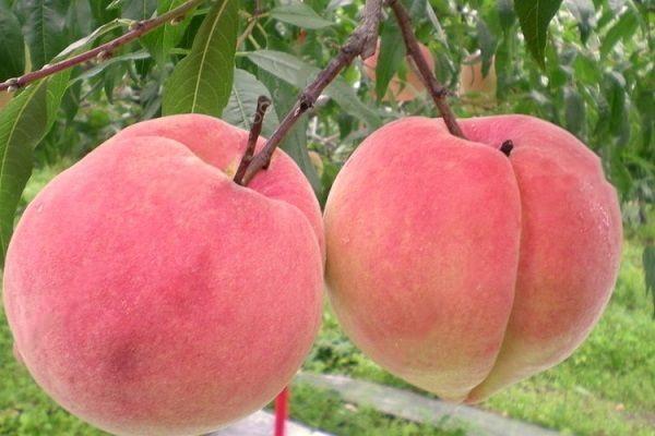 桃子一次性适合吃多少 桃子肉变褐色还能吃吗