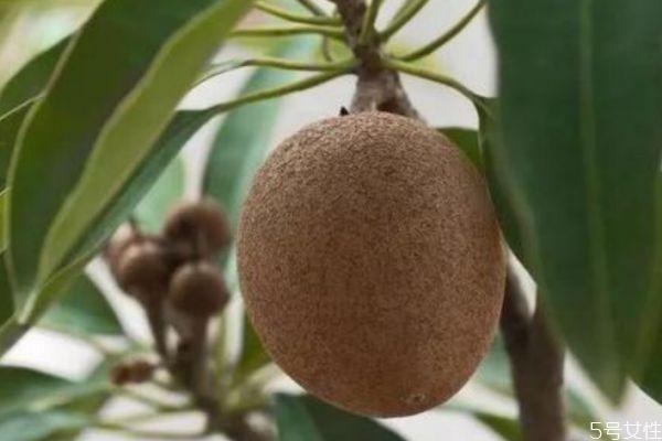 什么是人心果 人心果可以吃吗