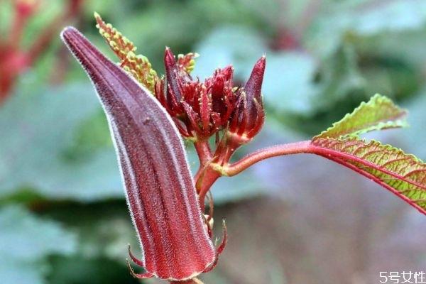 红秋葵能生吃吗 红秋葵有什么营养价值呢