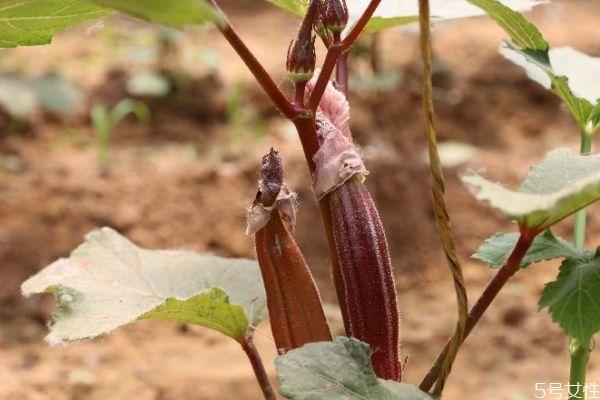 红秋葵多钱一斤呢 吃红秋葵有什么注意