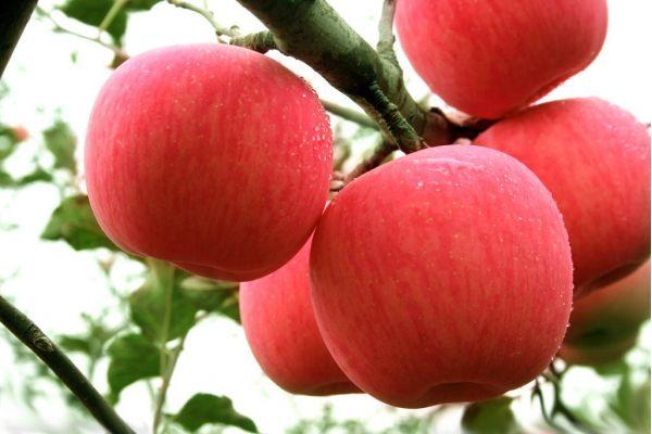 苹果太酸了怎么办 苹果为什么会变黄