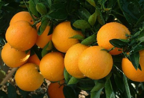 冰糖橙产地哪里的最好 冰糖橙几月份成熟
