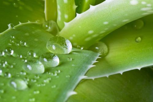 芦荟原液可以天天用吗 芦荟原液可以当爽肤水用吗