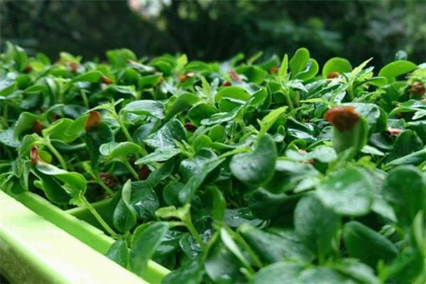 香椿苗的做法 香椿苗适合哪些人吃