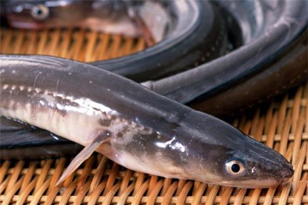 海鳗鱼是什么 海鳗鱼怎么做好吃