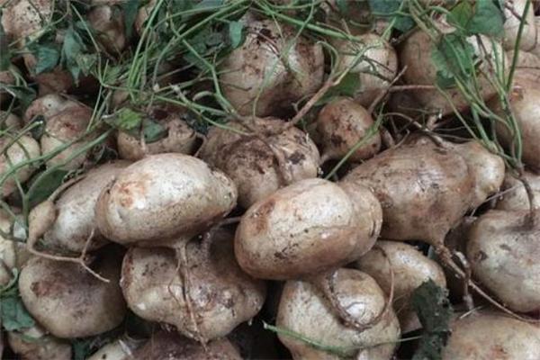 凉薯怎么保存 凉薯可以保存多久