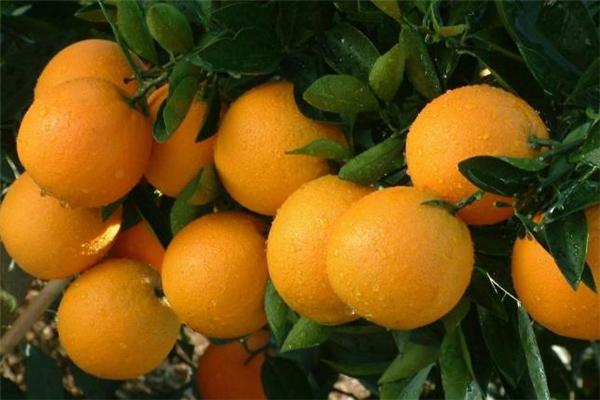 冰糖橙可以天天吃吗 冰糖橙一天吃几个合适