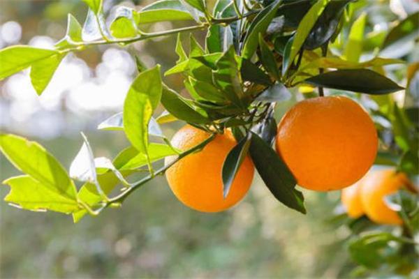 冰糖橙可以放冰箱吗 几月份的冰糖橙最甜