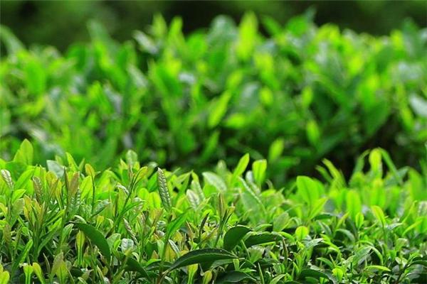 谷雨茶是绿茶吗 谷雨茶什么时候采摘好