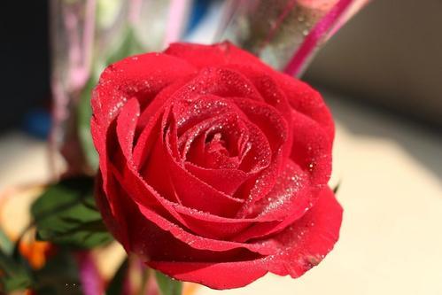 玫瑰花水养怎么养不蔫 玫瑰花水养能养几天