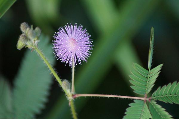 含羞草怎么养 养含羞草的方法